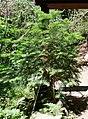 Torreya californica Crystal Cave 3.jpg