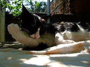 Personal grooming - Image: Tortoiseshell cat, grooming