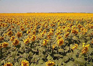 English: Sunflowers in Traill County, North Da...