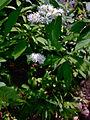 Trautvetteria caroliniensis - Carolina bugbane.jpg