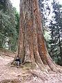 Tree at Ooty Botanical garden.jpg