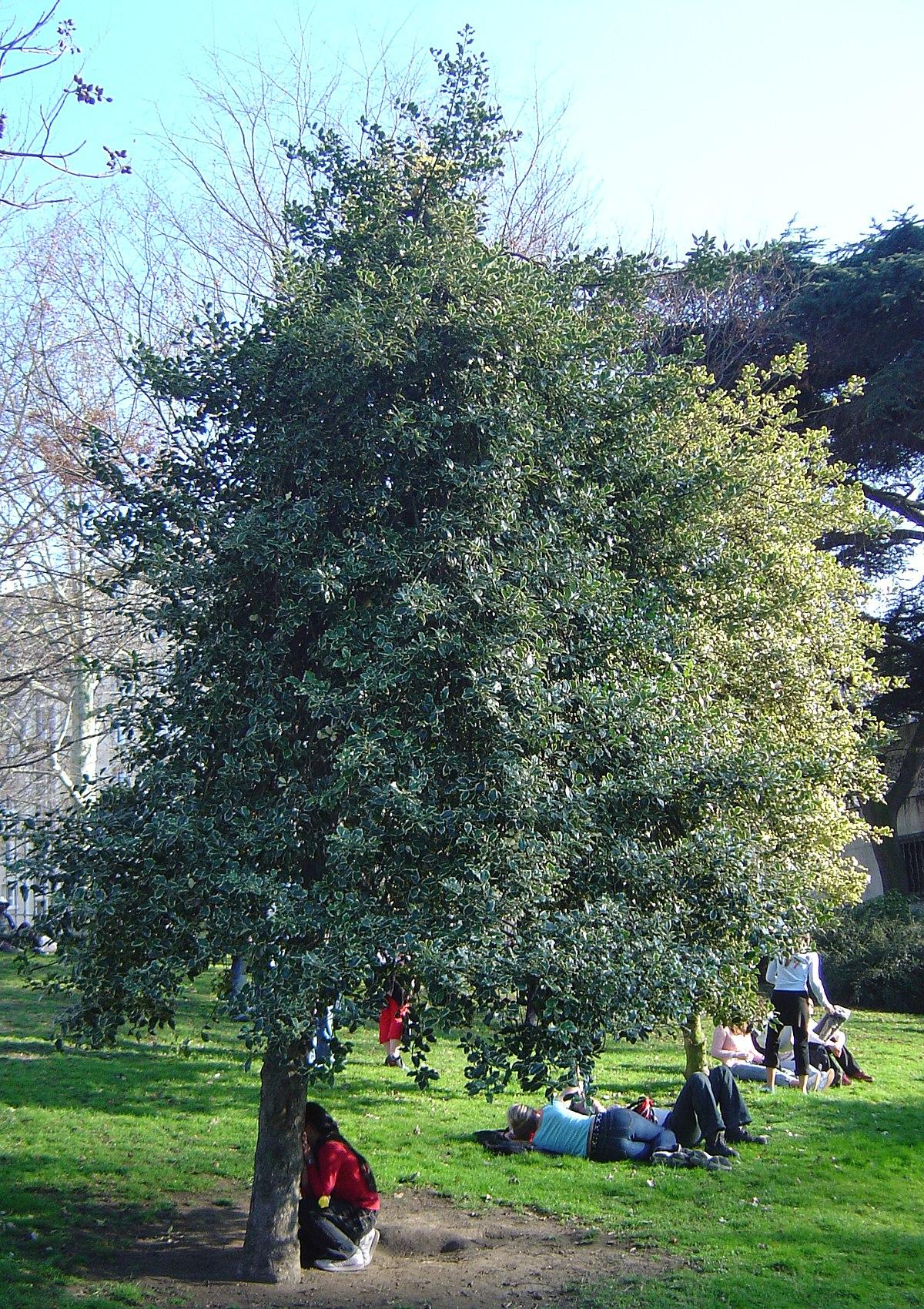 Ilex aquifolium wikipedia for Agrifoglio immagini