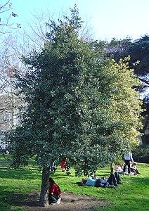 Agrifoglio. Tree Dsc00837