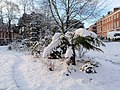Tree fern in the snow, Exeter - geograph.org.uk - 1151655.jpg