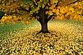 Tree in fall 3507 (8109598851).jpg