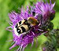 Trichius fasciatus. Scarabaeidae (1) (16093287137).jpg