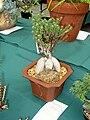 Trichodiadema bulbosum - Tower Hill Botanic Garden.JPG