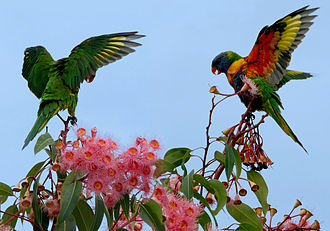 Rainbow lorikeet - In Brisbane, Queensland.