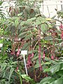 Trichostigma peruvianum - Berlin Botanical Garden - IMG 8700.JPG