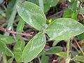 Trifolium pratense (5155175522).jpg