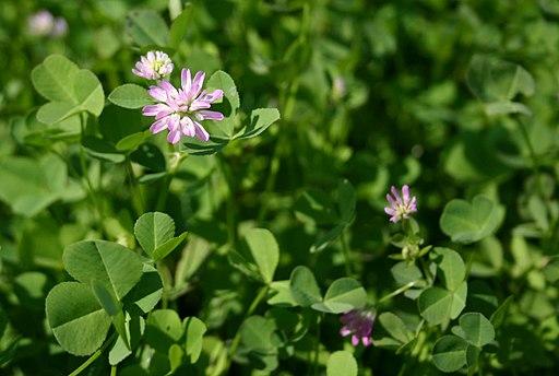 Trifolium resupinatum 4