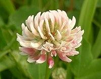 Trifoliumhybridum kz.jpg