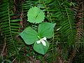 Trillium ovatum and Achlys triphylla with Polysthicum munitum.jpg