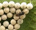 Trissolcus on Chinavia eggs.jpg