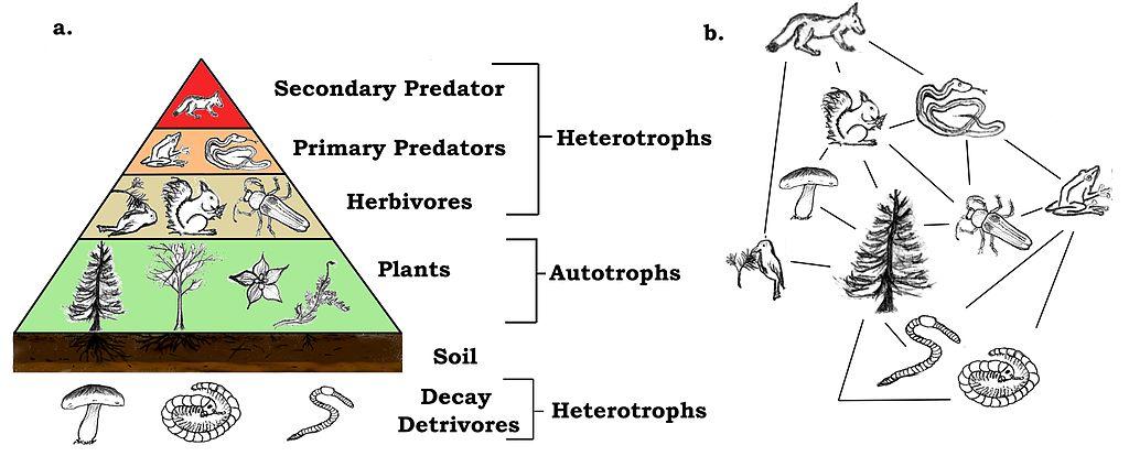 Pyramid Flow Chart Answers: TrophicWeb.jpg - Wikimedia Commons,Chart