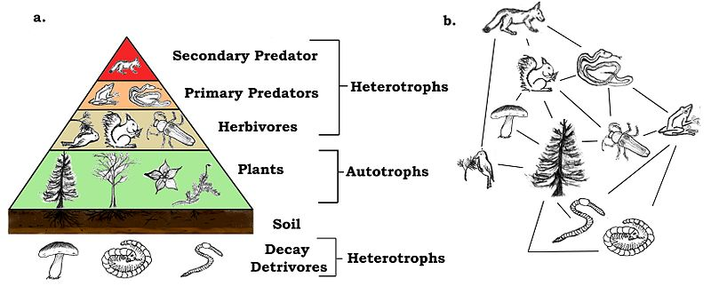 The trophic pyramid is based upon observations of food web, or energy transfer, as observed in living ecosystems. As a model, it explains the patterns of food production and predation we see in living systems. It can also be applied to fossil organisms because such energy transfer processes, from decomposing heterotrophs to omnivorous heterotrophs also apply to past ecosystems.