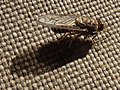 TseTse fly in Tanzania 3466 cropped Nevit.jpg