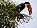 Tucano numa palmeira.JPG