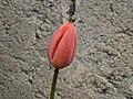 Tulip And Concrete.jpg