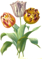 Tulipa gesneriana00clean cropped.png