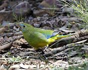 Turquoise Parrot (Neophema pulchella)-6.jpg