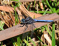 Two-striped skimmer (Orthetrum caffrum).JPG