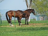 Two horses in Kostelec (1).jpg