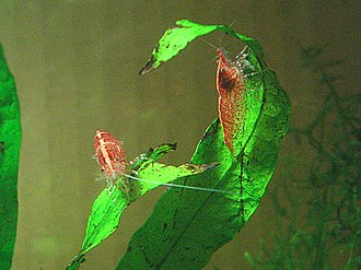 Shrimp - Other shrimp, like these cherry shrimp, perch on plant leaves