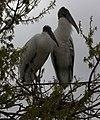 Two wood storks (4531328342).jpg