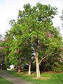 UC Davis arboretum - Sapium sebiferum.jpg