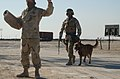US Navy 030302-N-5362A-014 Master at Arms 2nd Class Phillip Darity, a U.S. Navy dog handler, instructs a role player acting as a suspect with the assistance of his dog.jpg