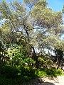 Ullastre del Parc Güell P1500842.jpg