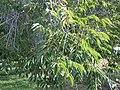 Ulmus pumila (5107832422).jpg