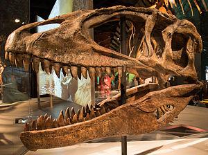 Carcharodontosaurus - Reconstructed C. saharicus skull, Science Museum of Minnesota