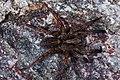 Ulveedderkopper (Lycosidae) (5605940225).jpg
