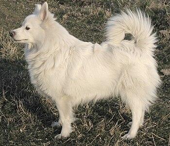 Un chien Spitz allemand.jpg