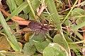 Unid. Spider (BG) (13991316227).jpg