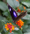 Unidentified butterfly 04.jpg