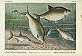 Unsere Süßwasserfische (Tafel 39) (6103149682).jpg