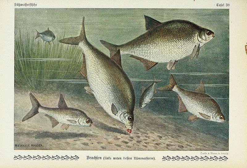 File:Unsere Süßwasserfische (Tafel 39) (6103149682).jpg