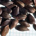 Unwinged seeds of Picea pungens.jpg