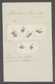 Urceolaria hamata - - Print - Iconographia Zoologica - Special Collections University of Amsterdam - UBAINV0274 113 21 0004.tif