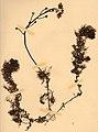 Utricularia vulgaris herbarium (01).jpg