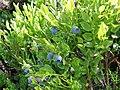 Vaccinium myrtillus. Arandanera (frutu).jpg