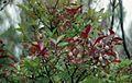 Vaccinium padifolium, Encumenada mountain plain in October 1999..jpg