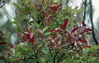 Vaccinium padifolium - Image: Vaccinium padifolium, Encumenada mountain plain in October 1999