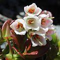Vaccinium vitis-idaea (flower s2).JPG