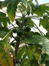 Vasconcellea monoica BotGardBln1105FruitsHabitus