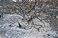 Vegetació cremada al cap de sant Antoni.JPG