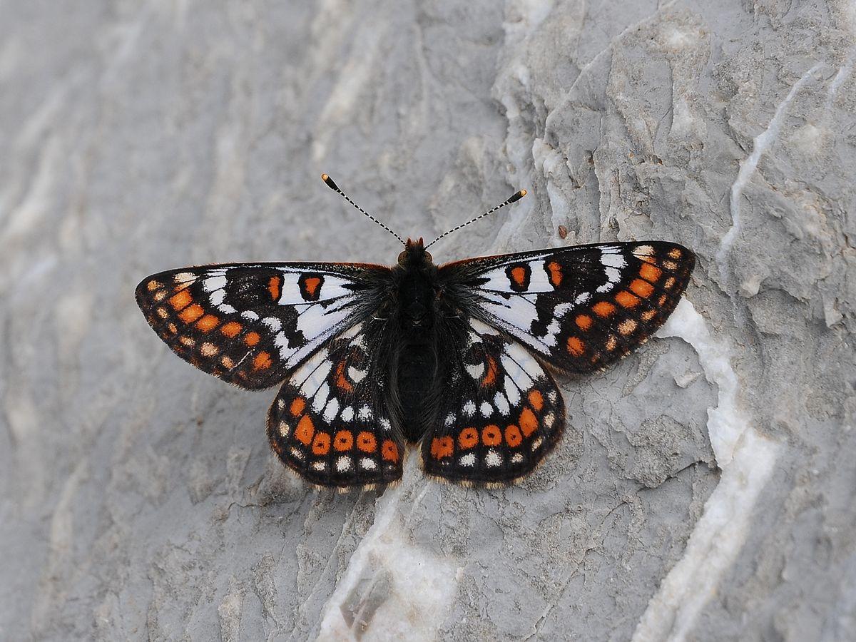 Euphydryas cynthia - Wikipedia
